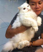 ペルシャのキュー。黄金とサファイアの目をもつ猫でした。